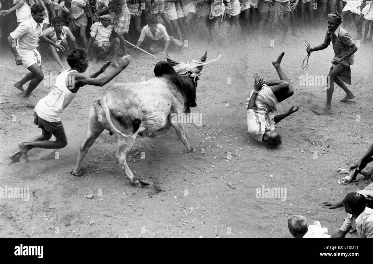 Jallikattu bull taming in pongal festival ; Alanganallur ; Madurai ; Tamil Nadu ; India - Stock Image