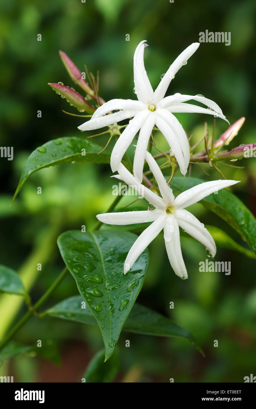 jasminum grandiflorum flower - Stock Image