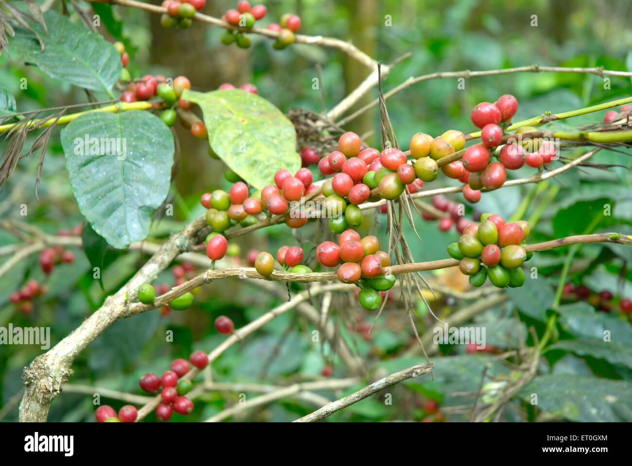 Coffee beans raw and ripe