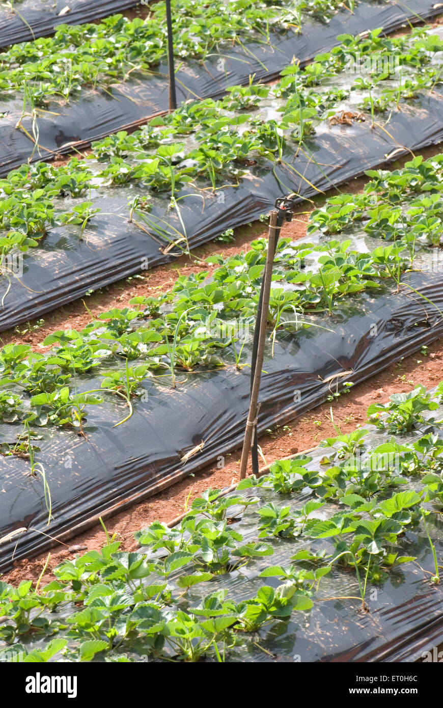 Cultivation of strawberry using new technique ; Panchgani ; Maharashtra ; India - Stock Image