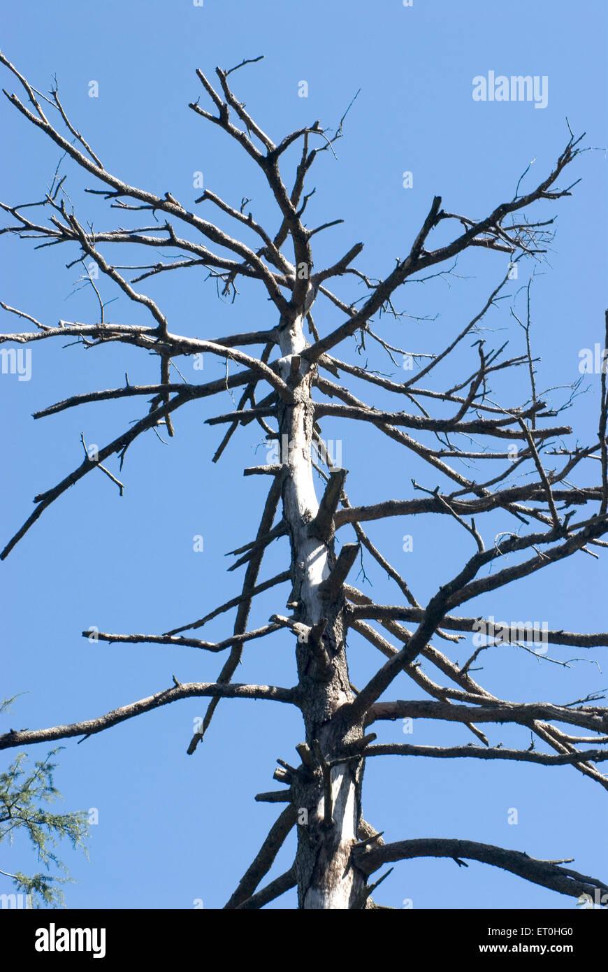 Silver birch tree without leaf at khajjair ; Himachal Pradesh ; India - Stock Image