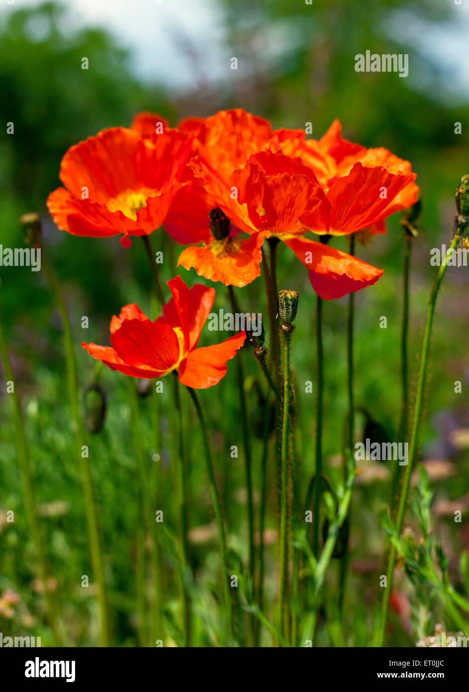 Iceland poppy stock photos iceland poppy stock images alamy iceland poppy flowers in a garden stock image mightylinksfo