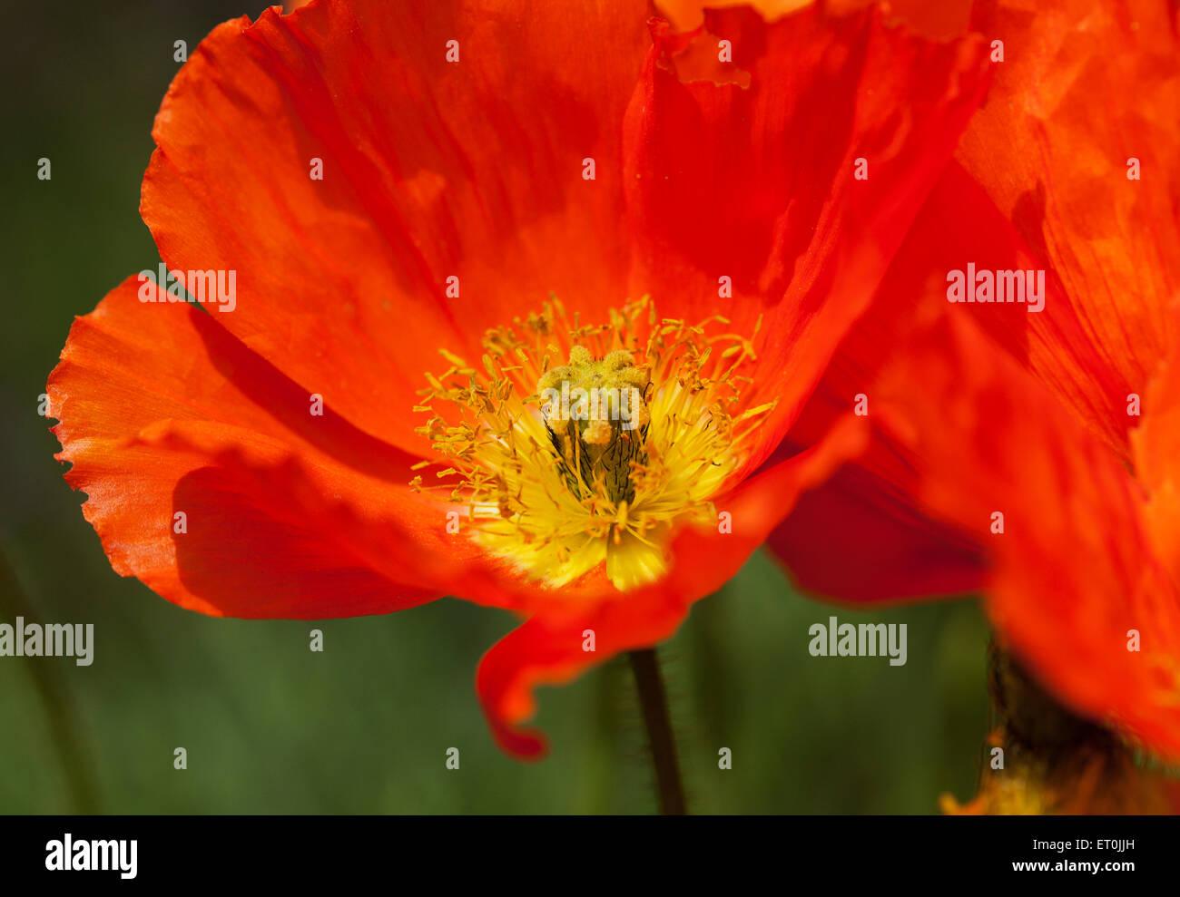 Iceland poppy flower closeup stock photo 83607849 alamy iceland poppy flower closeup mightylinksfo