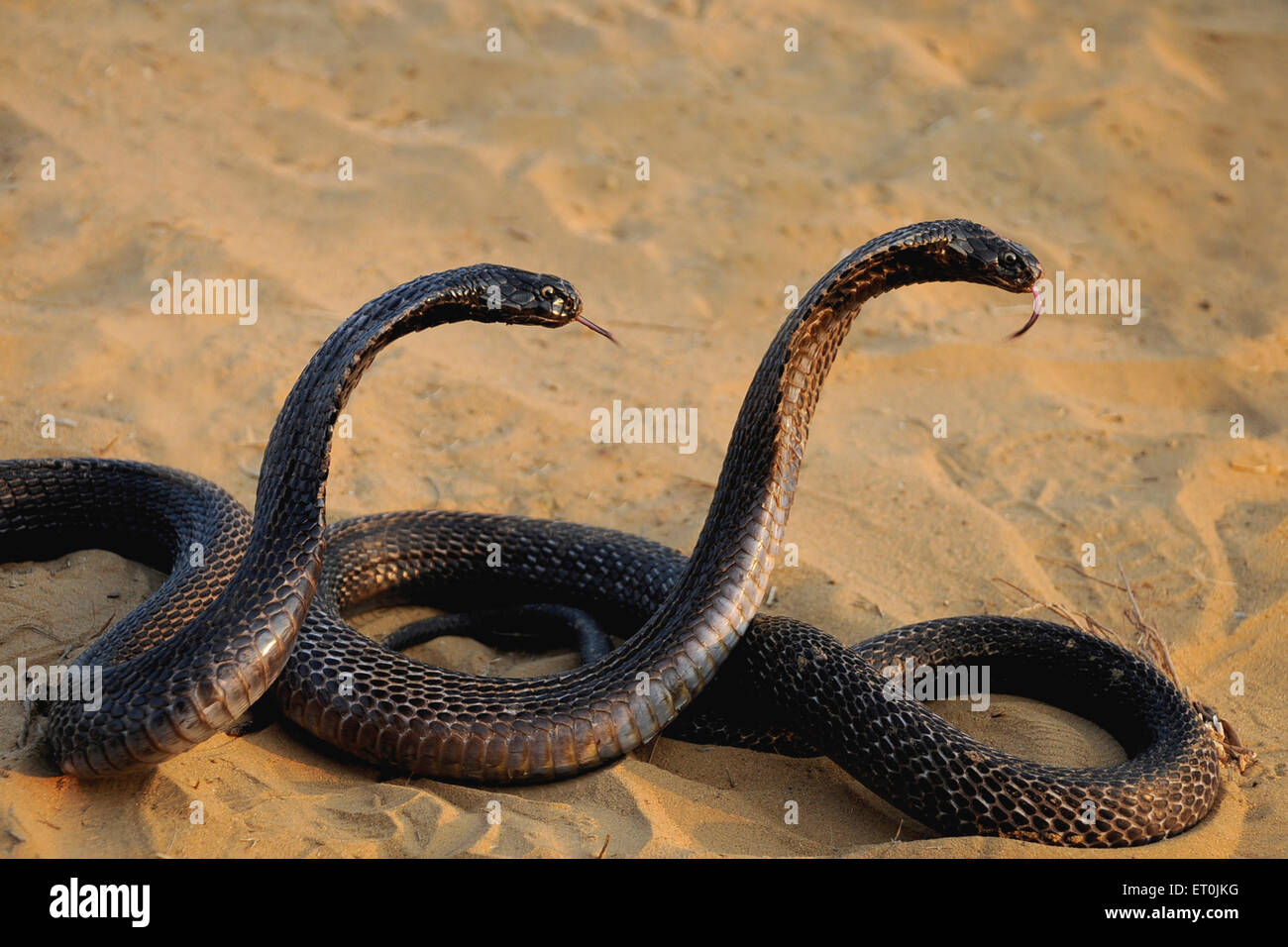 Reptiles ; pair of cobra snakes in aggressive position ; Pushkar fair ; Rajasthan ; India - Stock Image