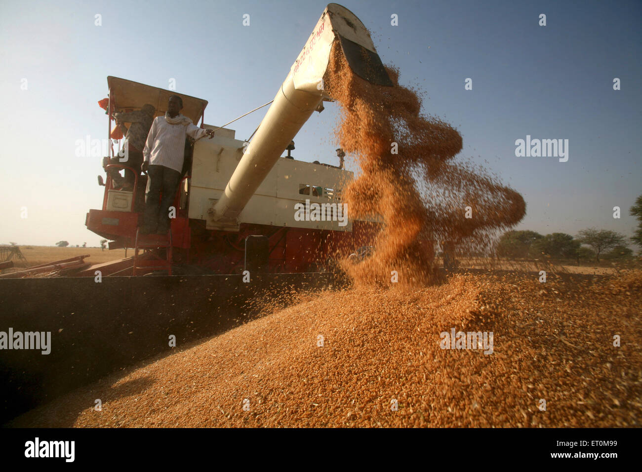 Combine harvester being operated by group of farmers harvesting golden wheat in fields of Bhopal ; Madhya Pradesh - Stock Image
