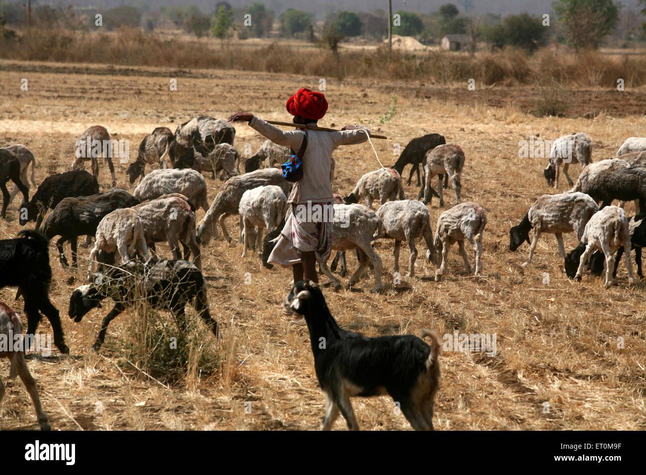 Nomad grazing herd of sheep in barren fields in Bhopal ; Madhya Pradesh ; India - Stock Image