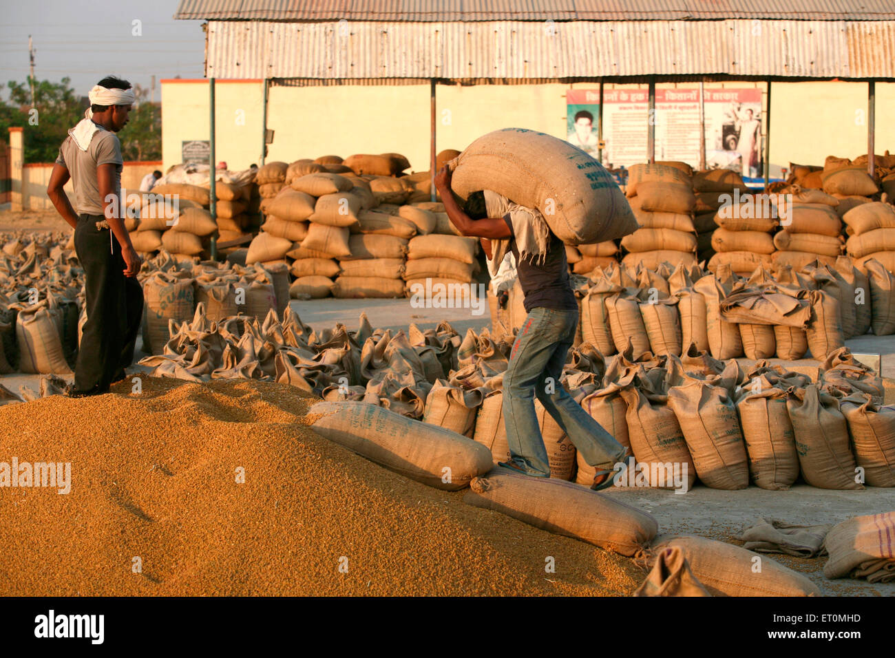 Worker carrying jute bag containing wheat to be emptied while other worker directing him at Harsud Mandi Bhopal Stock Photo