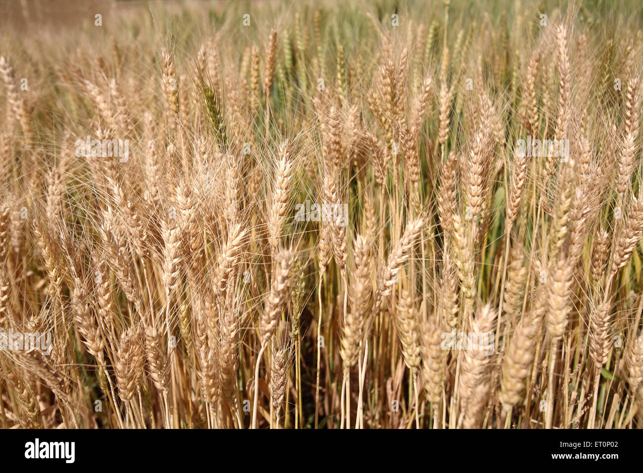 Wheat field ; Rajasthan ; India - Stock Image