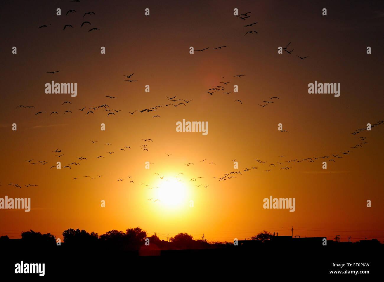 Birds flock of demoiselle cranes grus virgo flying at time of sunrise Khichan Phalodi Jodhpur Rajasthan India Stock Photo