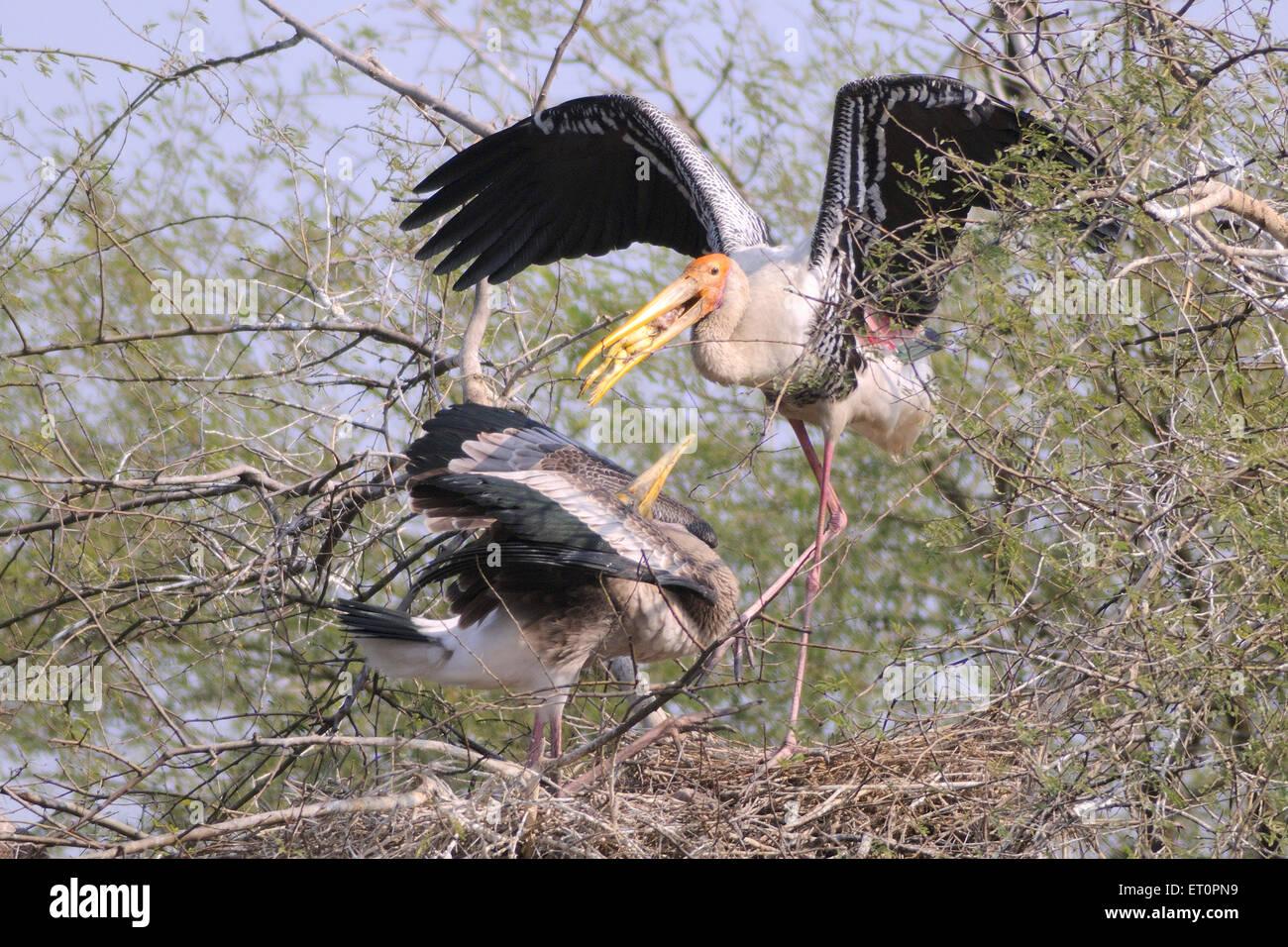 Birds ; painted stork mycteria leucocephala feeding chick ; Bharatpur ; Rajasthan ; India - Stock Image