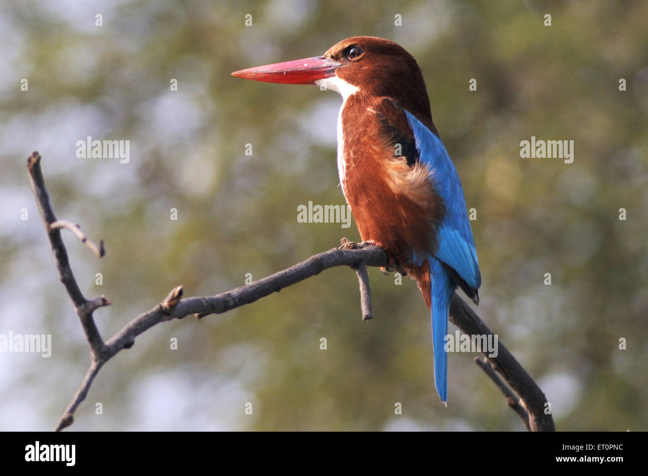 Birds ; white breasted kingfisher halcyon smyrnensis sitting on branch ; Bharatpur ; Rajasthan ; India - Stock Image