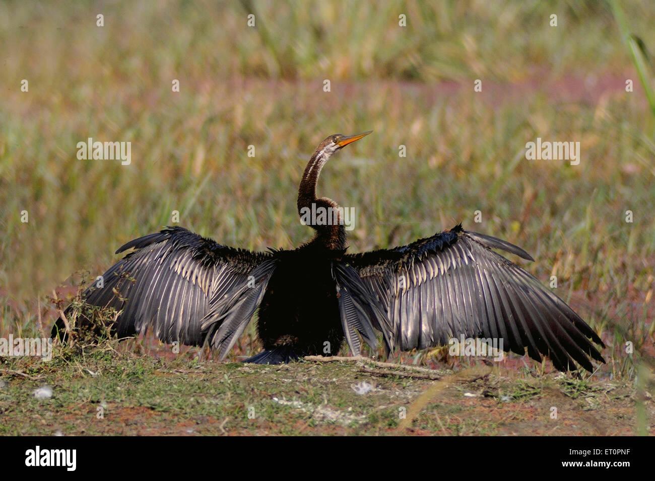 Birds ; snake bird or darter anhinga melanogaster spreading feathers ; Bharatpur ; Rajasthan ; India - Stock Image
