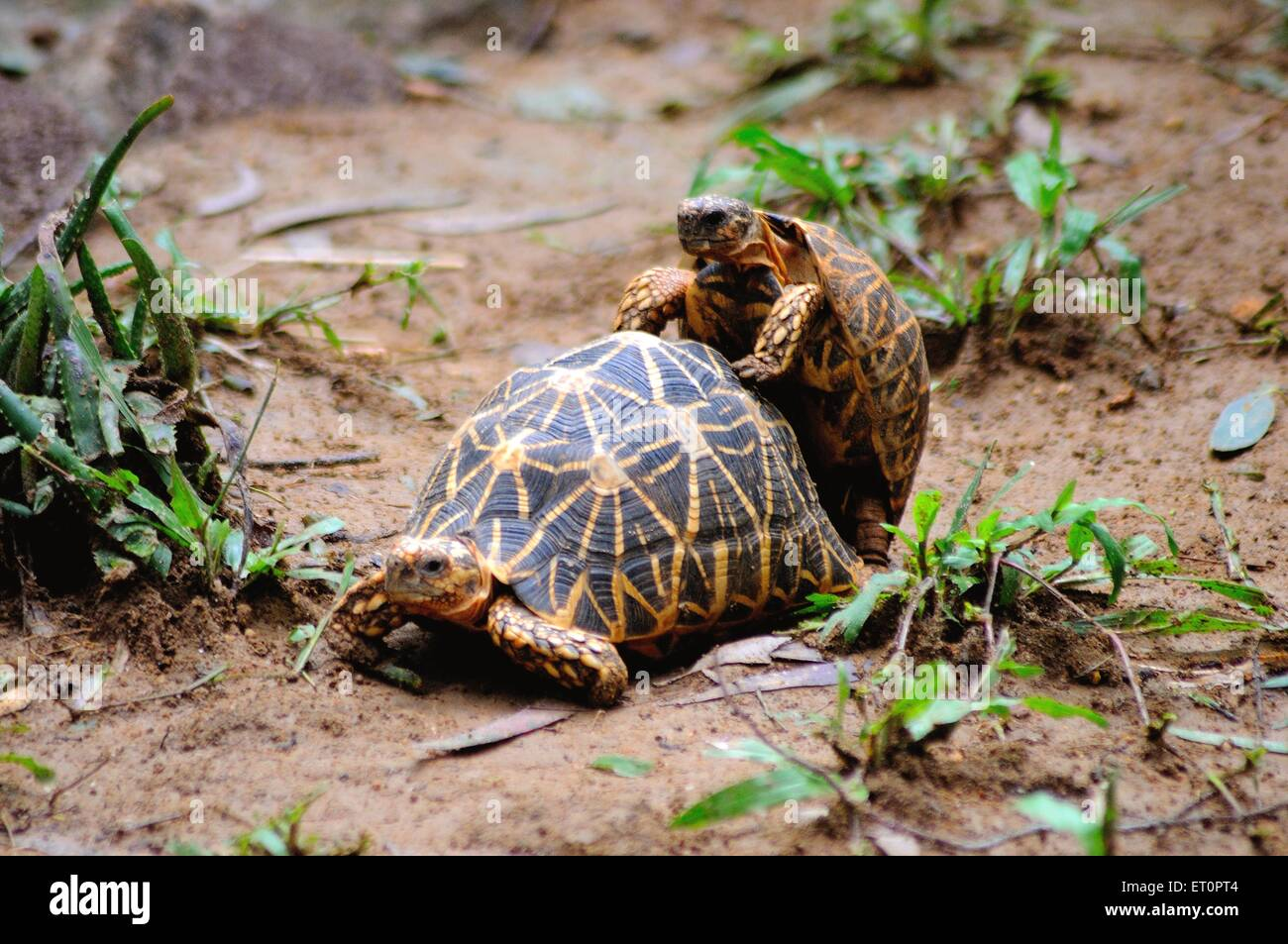 Reptiles ; turtles playing in national safari park ; Bangalore ; Karnataka ; India - Stock Image