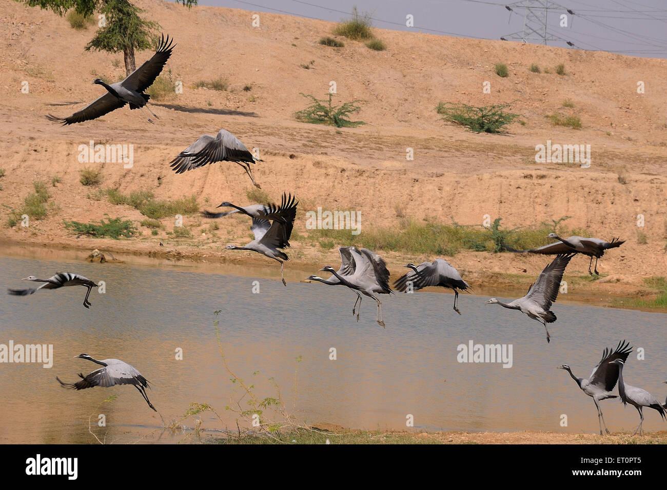 Birds ; cranes flying near pond ; Jodhpur ; Rajasthan ; India - Stock Image