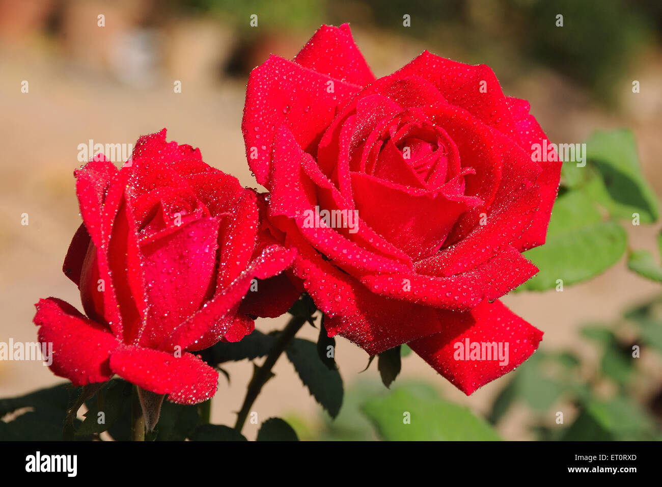 Dewdrops on roses - Stock Image