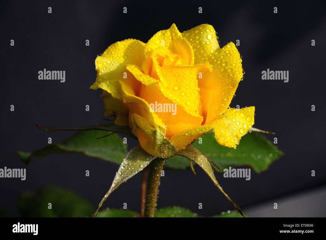 Dewdrops on rose - Stock Image