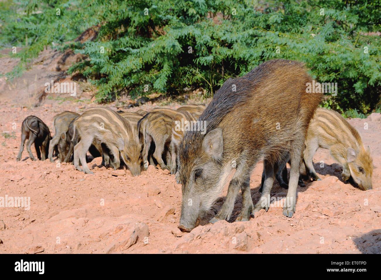 Wild pig sus scrofa cristatus with its kid ; India - Stock Image