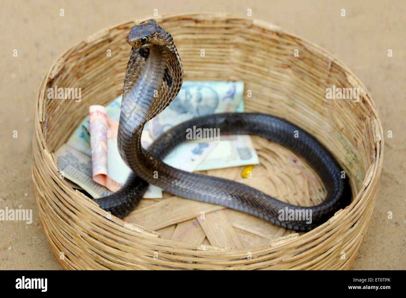 Cobra snake in a basket with money ; Rajasthan ; India - Stock Image