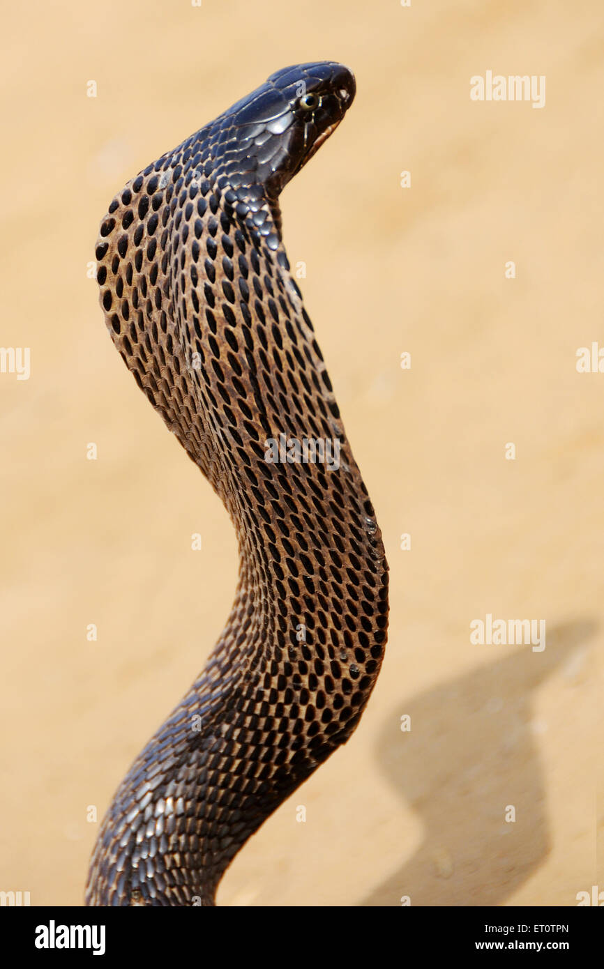 Cobra snake in aggressive position ; Rajasthan ; India - Stock Image