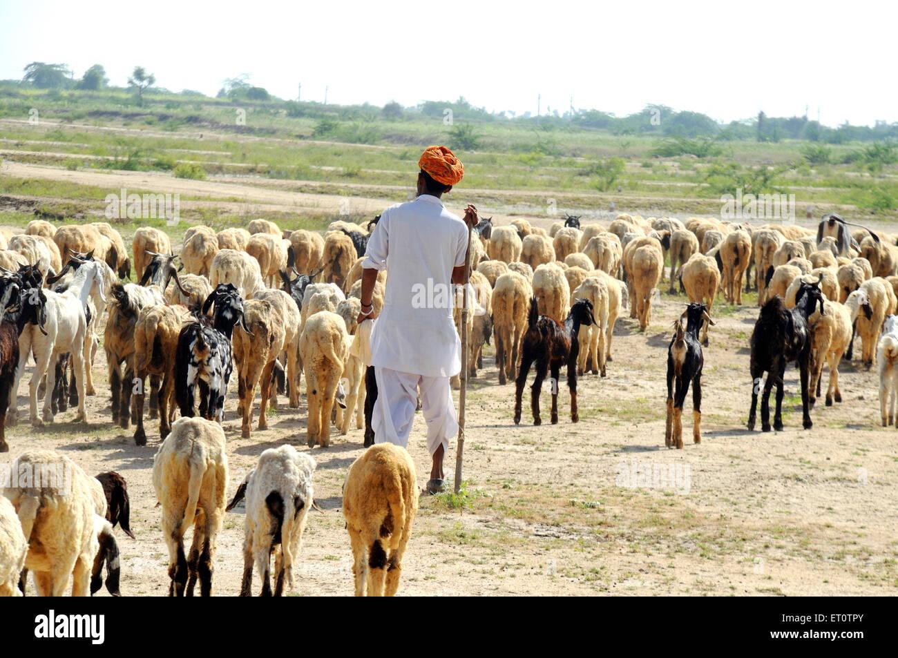 Shepherd walking with goats and sheep at pushkar ; Rajasthan ; India - Stock Image
