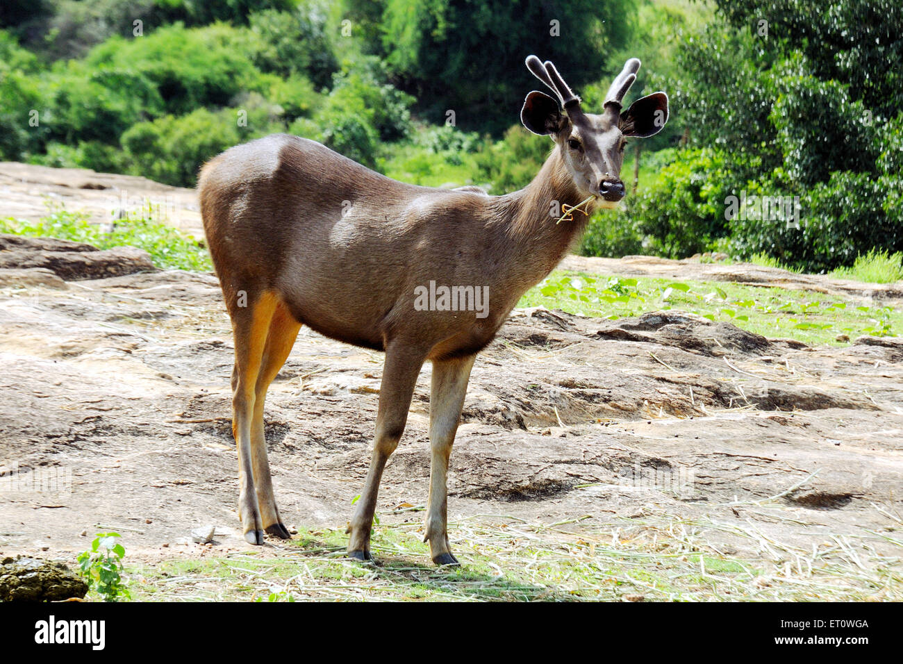 Deer cervus duvauceli ; India - Stock Image