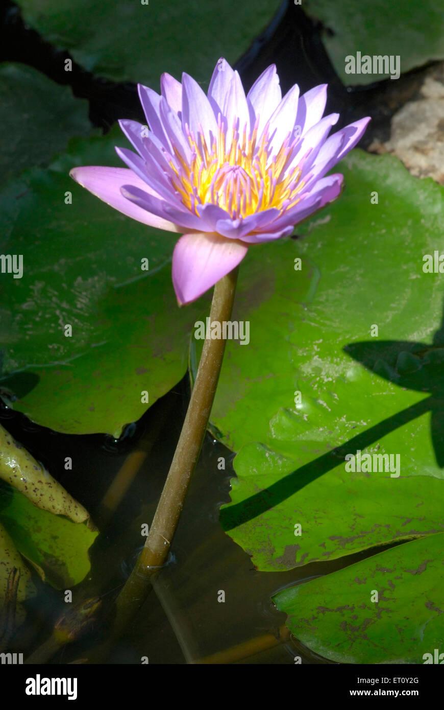 Lotus Flower Hindu Stock Photos Lotus Flower Hindu Stock Images