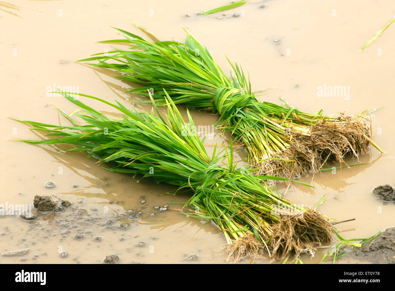 Bunch of rice crop in muddy water for sowing ; Madh ; Malshej Ghat ; Maharashtra ; India - Stock Image