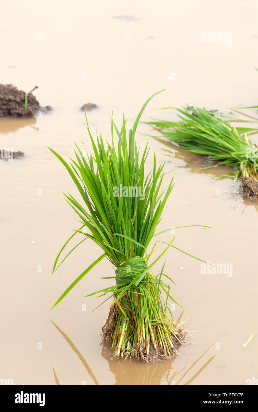 Bunch of rice crop for sowing in muddy water ; Madh ; Malshej Ghat ; Maharashtra ; India - Stock Image