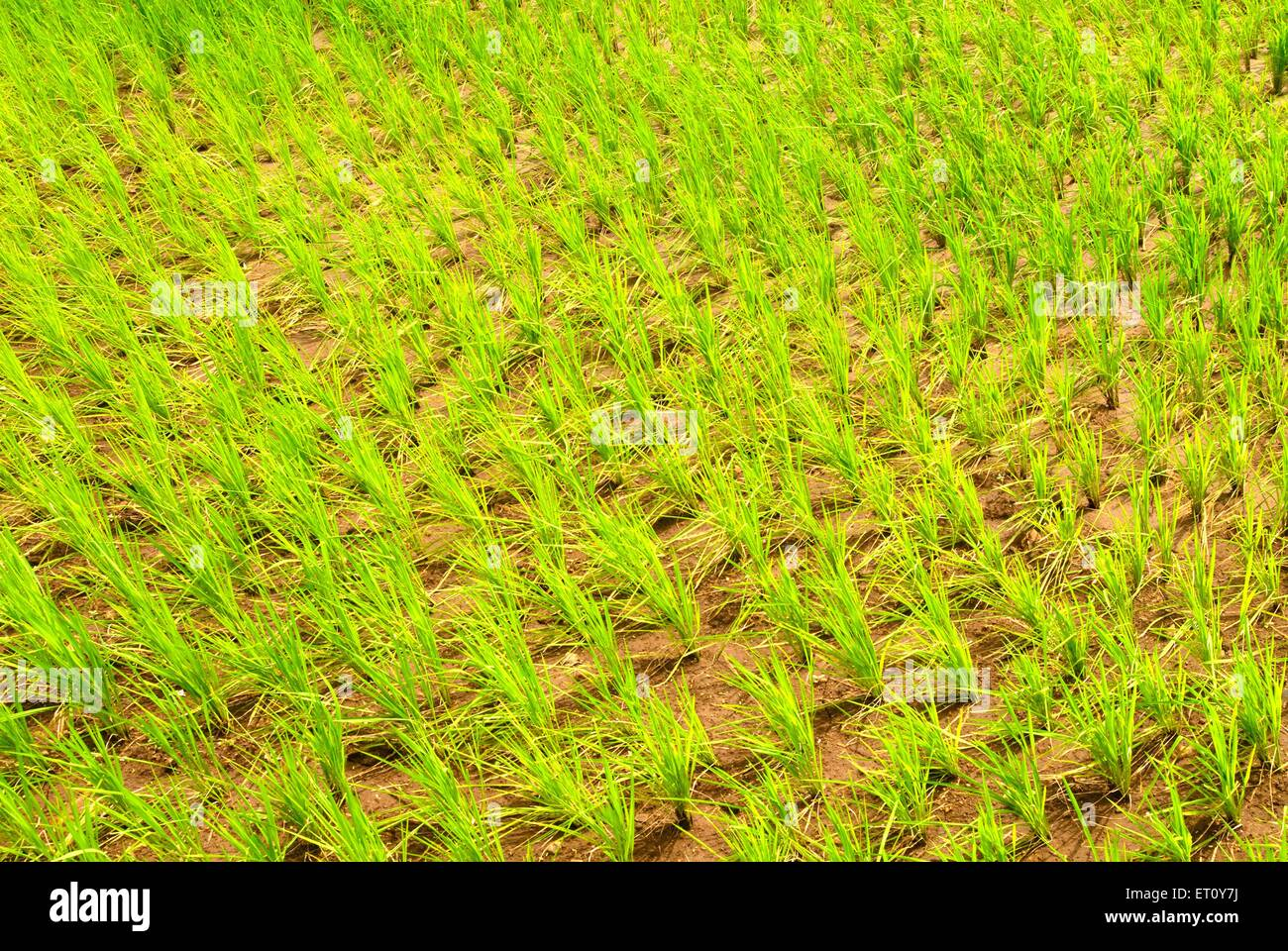 Lush green paddy field cultivation of rice crop at Malshej Ghat ; Maharashtra ; India - Stock Image