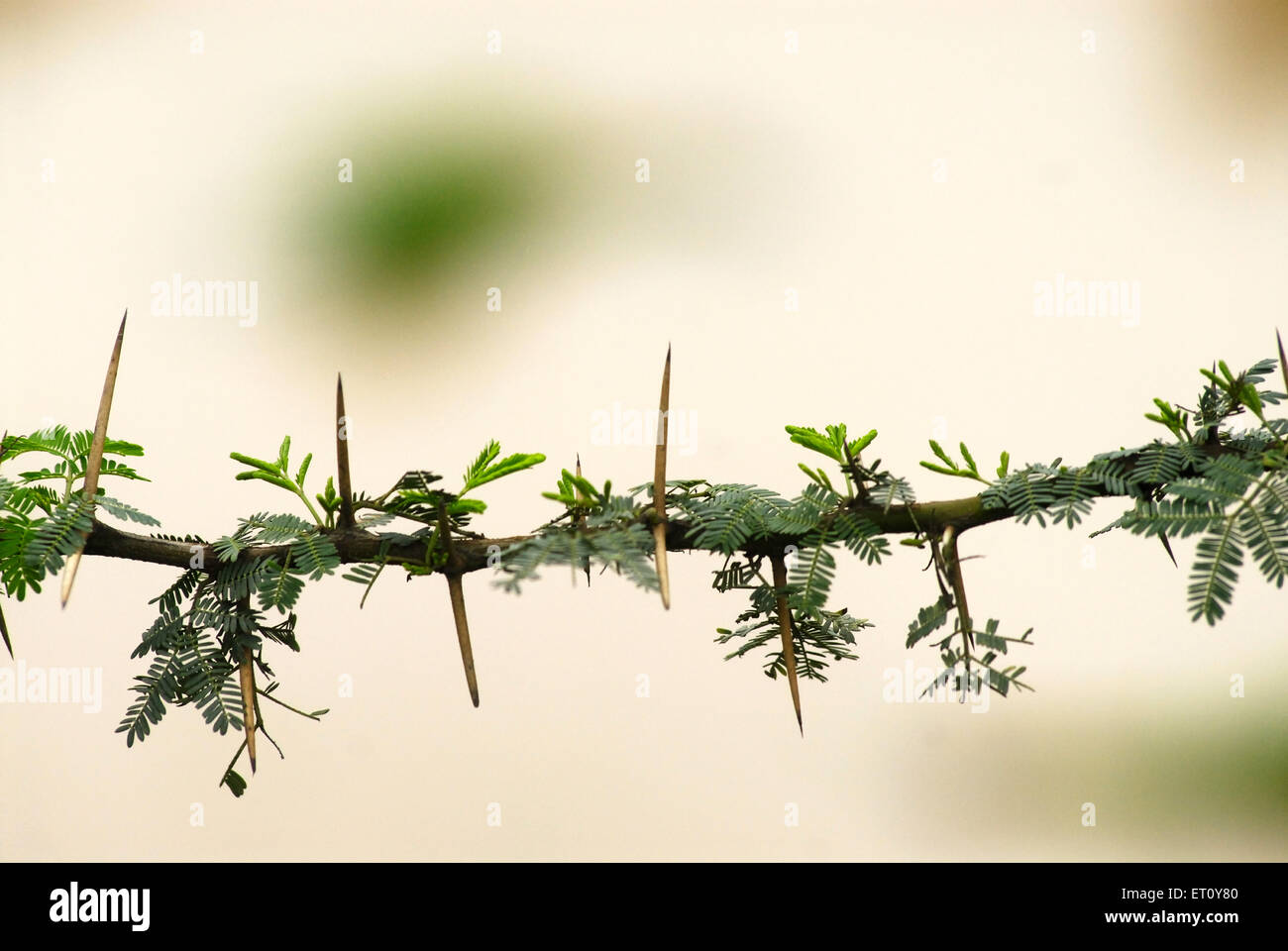 Thorn on stem of babhal or babul tree ; Madh ; Malshej Ghat ; Maharashtra ; India - Stock Image