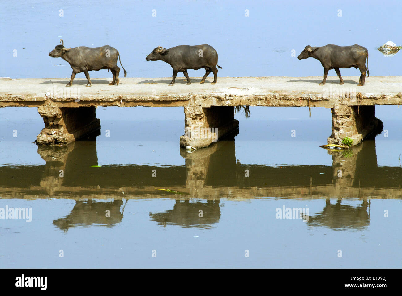Buffalos walking on unguarded small bridge crossing Mutha river ; Pune ; Maharashtra ; India - Stock Image