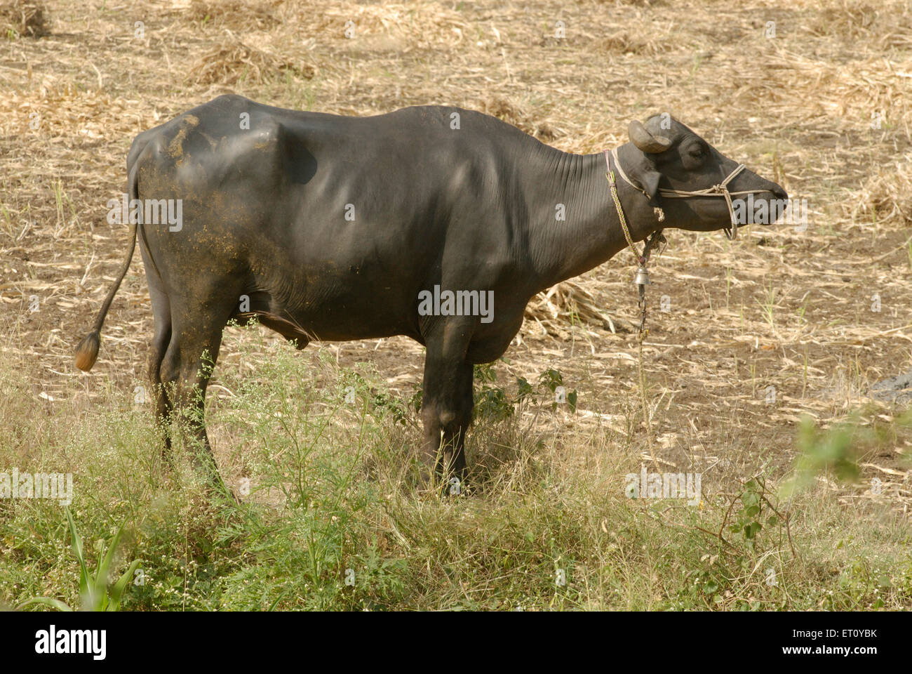 Tied buffalo standing in field ; village Donje ; Pune ; Maharashtra ; India - Stock Image