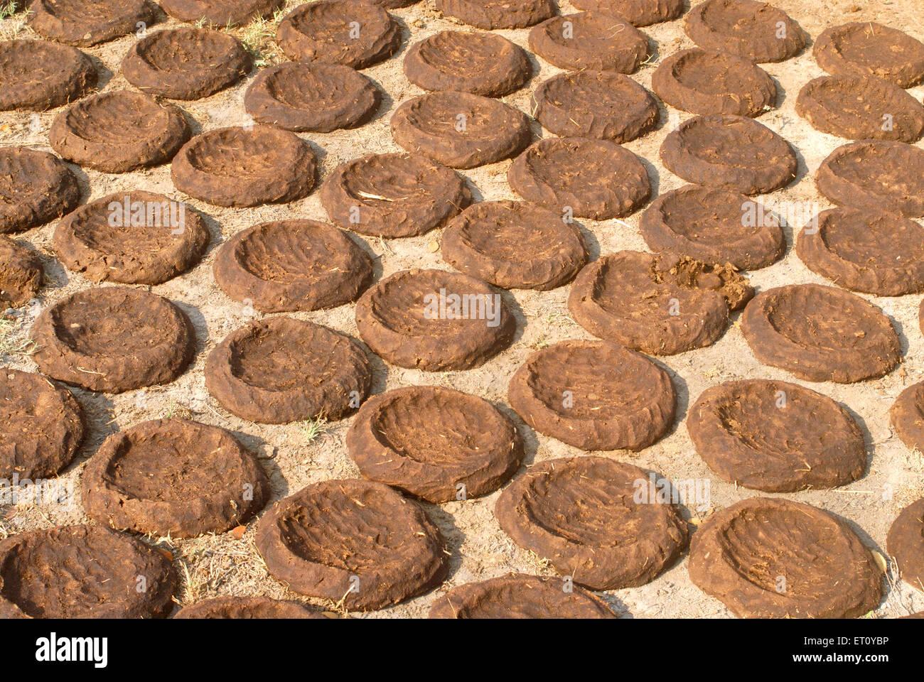 Platters of dung cake kept for drying for fuel ; village Donje ; Pune ; Maharashtra ; India - Stock Image
