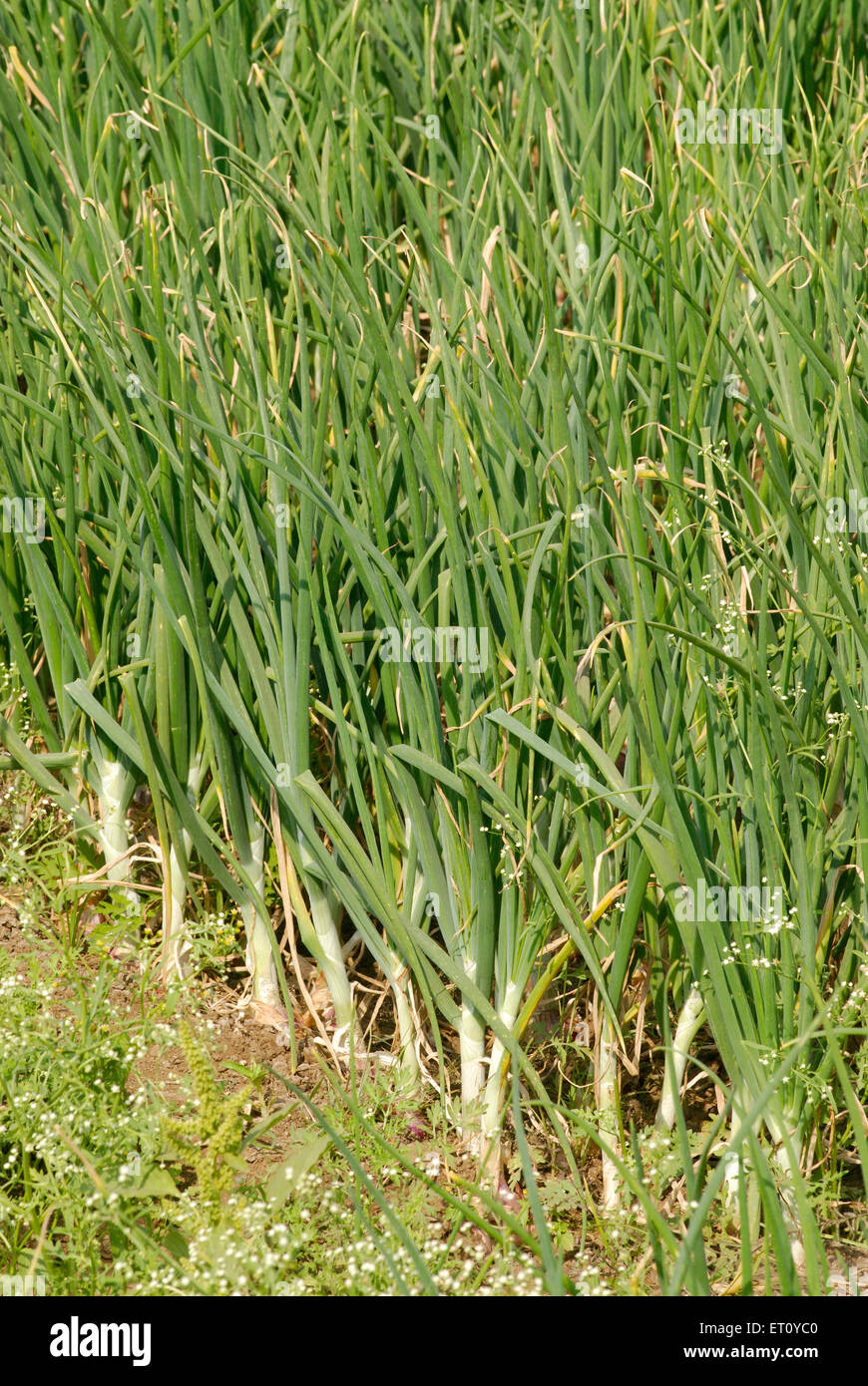 Field of lush green onion crop vegetable ; village Donje ; Pune ; Maharashtra ; India - Stock Image