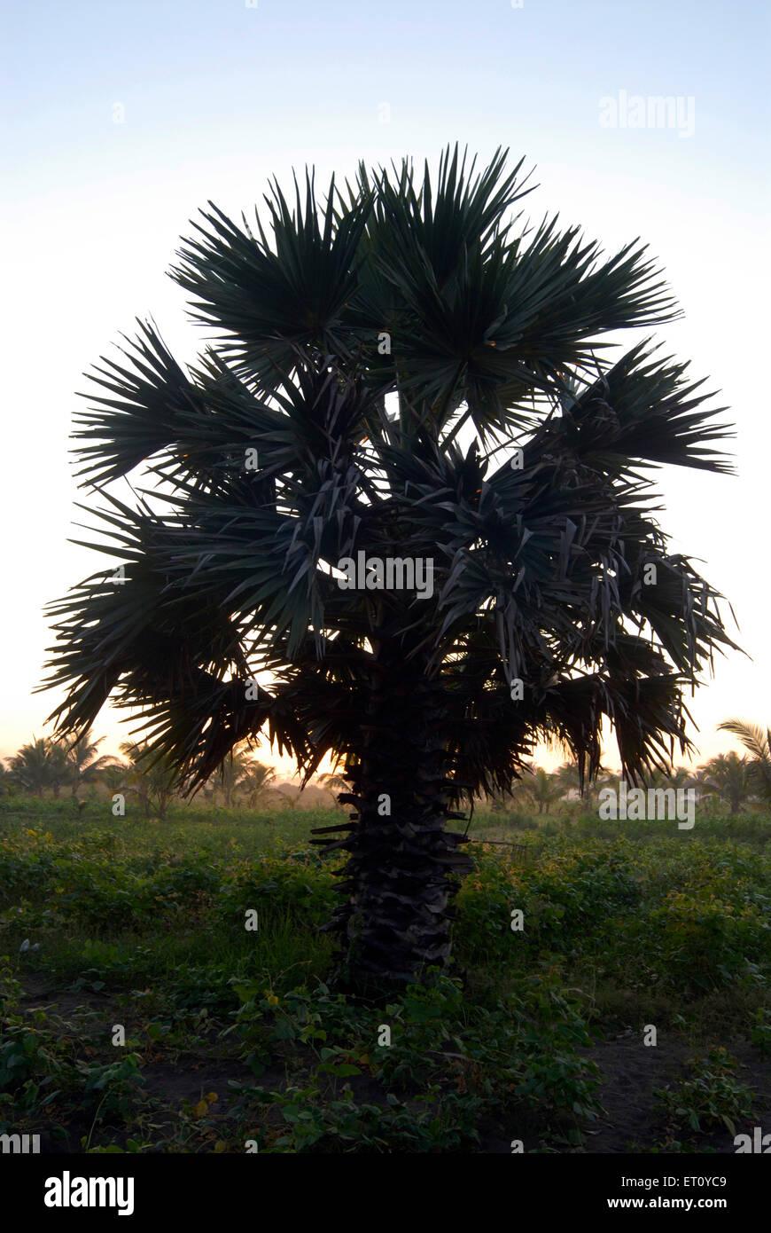 Palmyra palm silhouette sunrise at Kalamb beach ; Bassein Vasai ; District Thane ; Maharashtra ; India - Stock Image