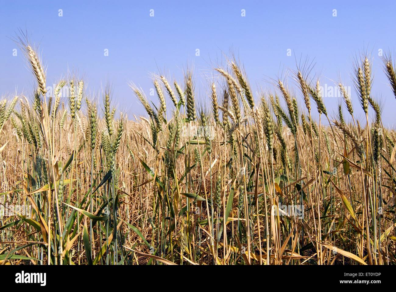 Spike of corns of wheat crop ready for harvesting ; village Urli Kanchan ; Pune ; Maharashtra ; India - Stock Image