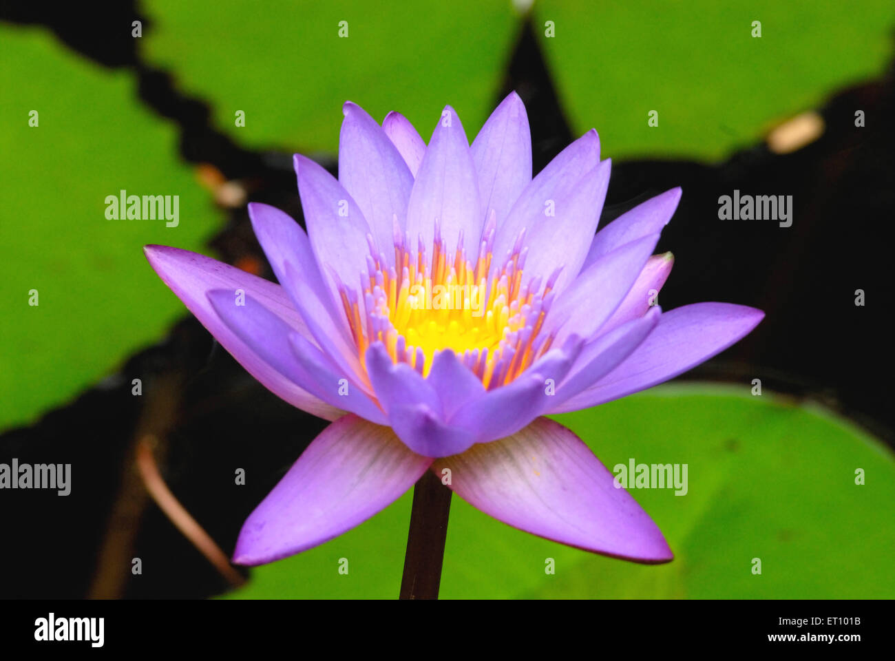 Lotus with yellow pollen nelumbo nucifera water lilly - Stock Image