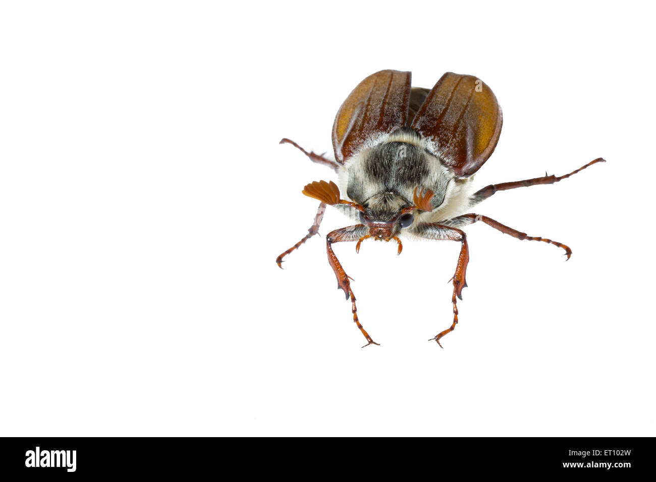 Cockchafer - May Bug against bright white background using outdoor studio - Stock Image