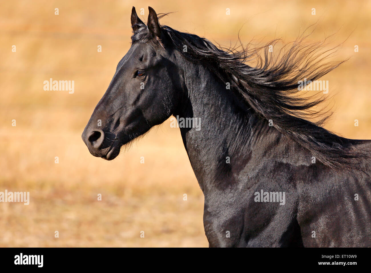 Head-shot of Black Friesian Stallion cantering, late afternoon sunlight - Stock Image