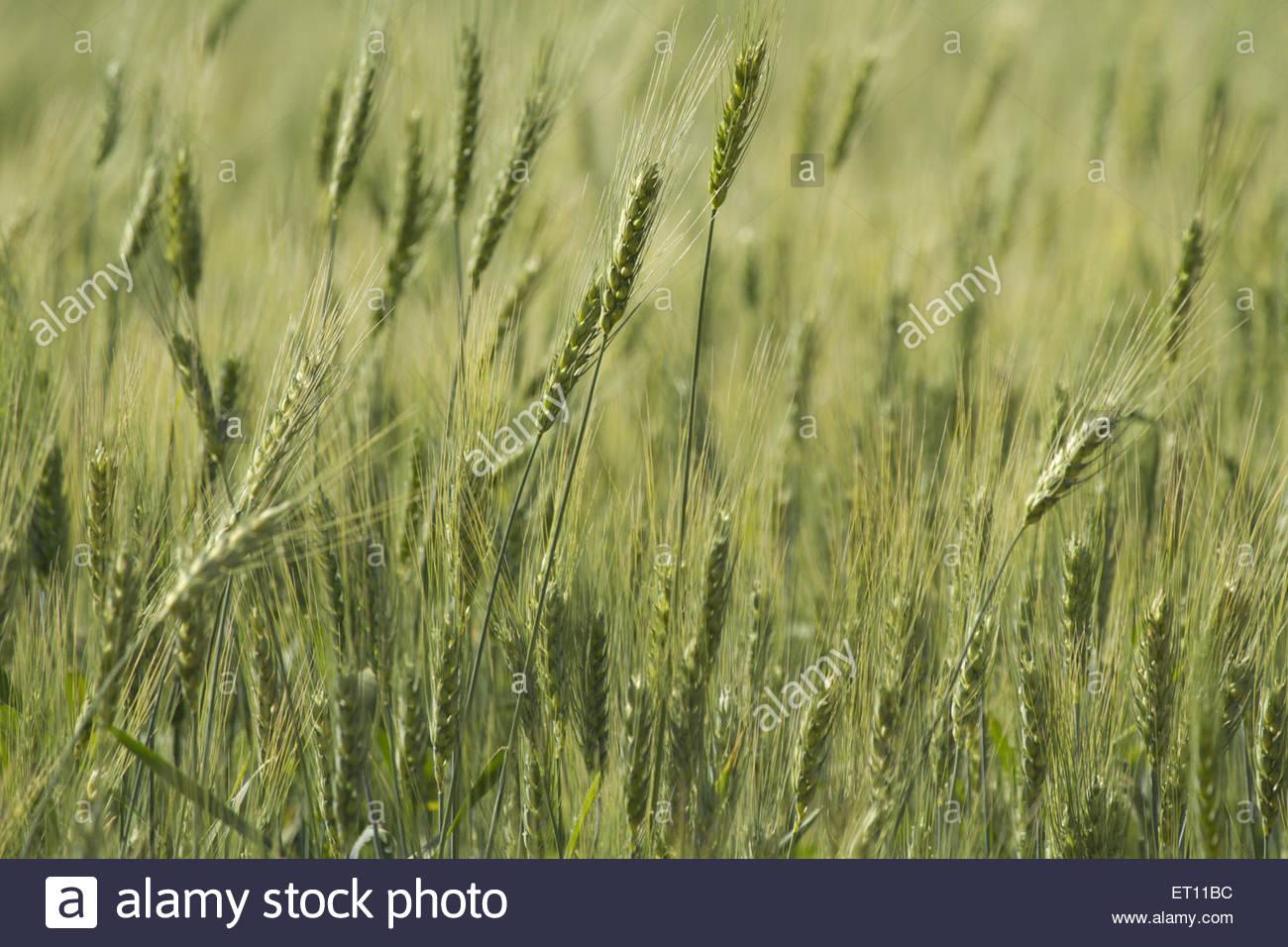 rice field at Maharashtra India - Stock Image
