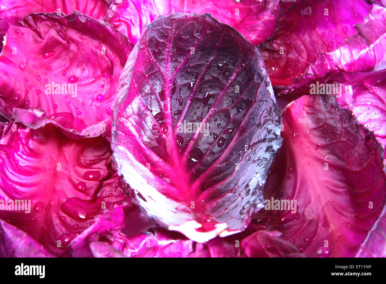 Vegetable ; pattagobi cabbage purple reddish blue violet - Stock Image