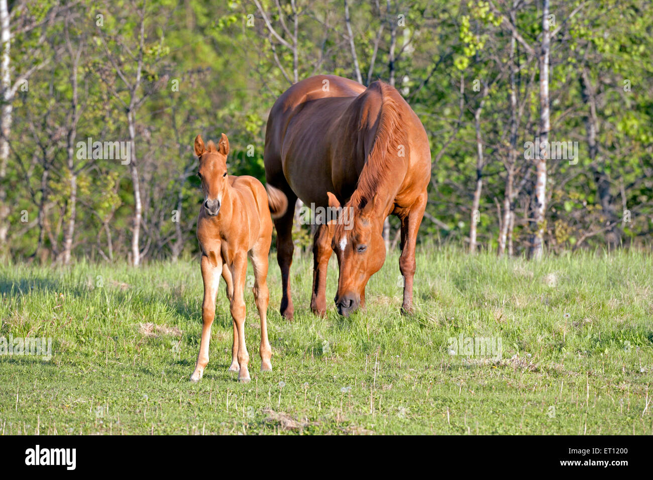 Sorrel Quarter-horse Mare and Foal together in meadow - Stock Image
