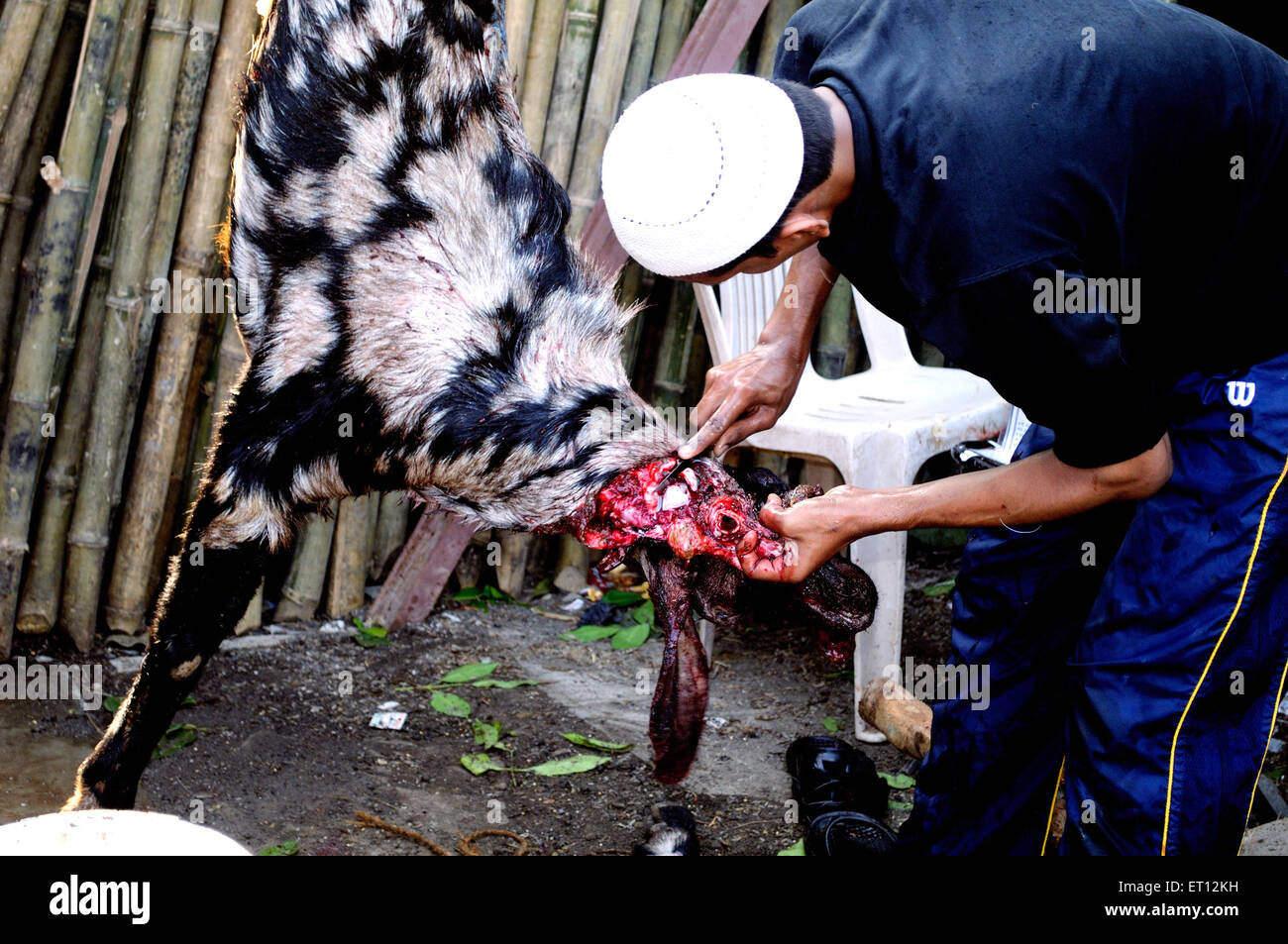 Goat slaughtered on the eve of bakra eid ; India - Stock Image