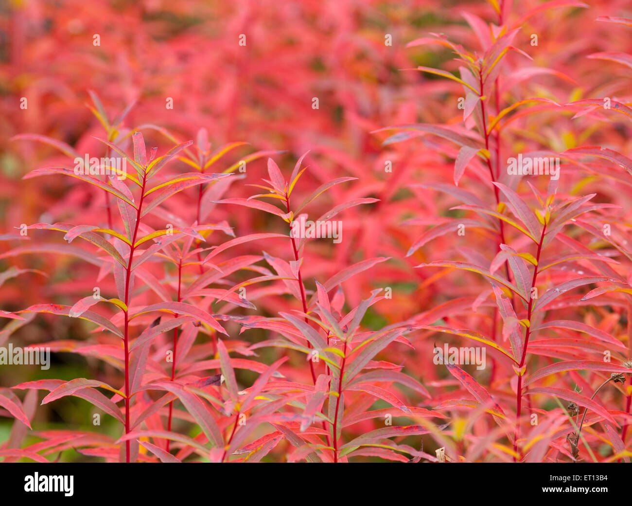 Close up on Fire-weed, Chamerion angustifolium in the autumn, fall. Orange to red colors. Stock Photo