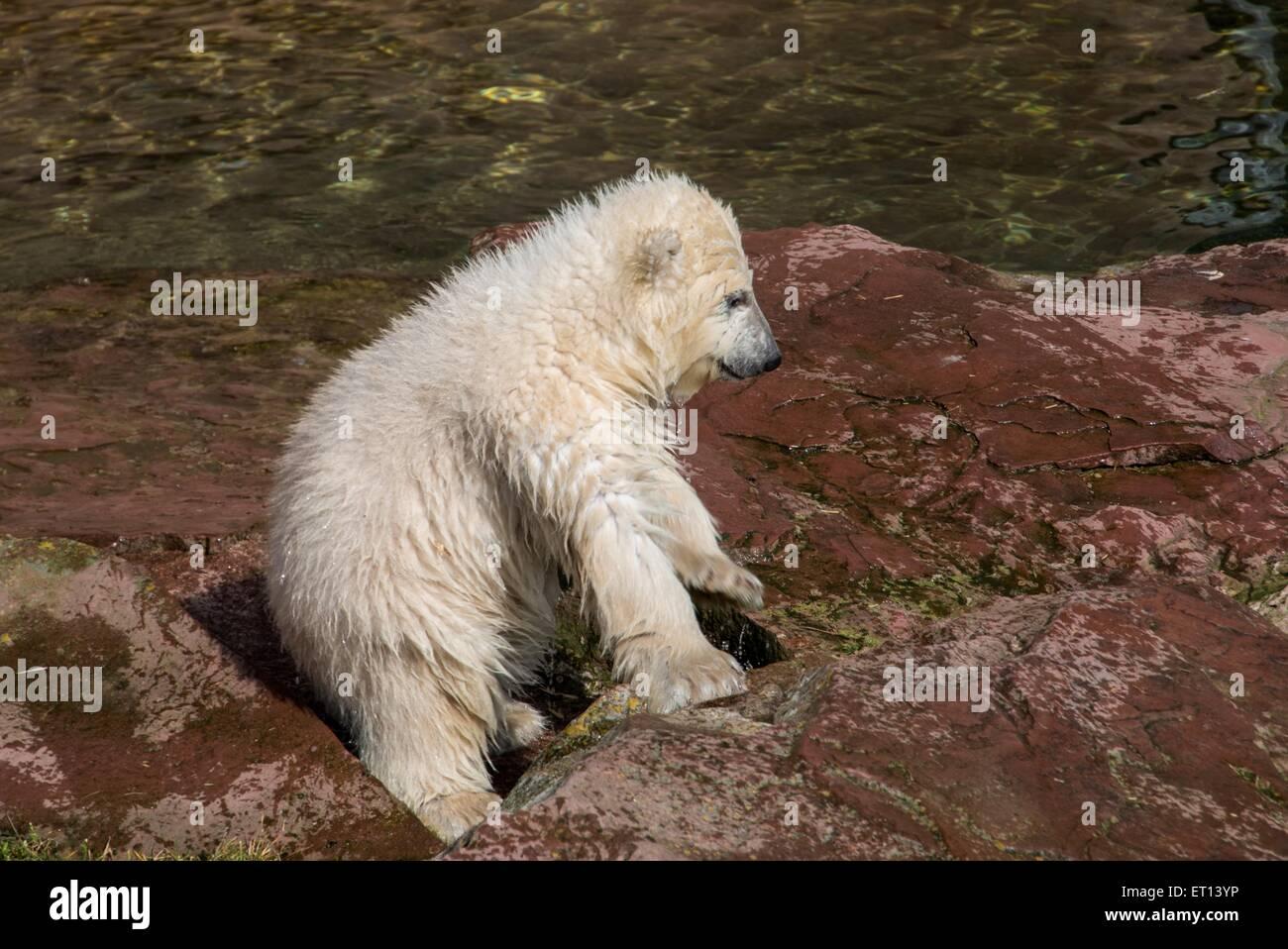 Polar bear on rocks in a zoo - Stock Image
