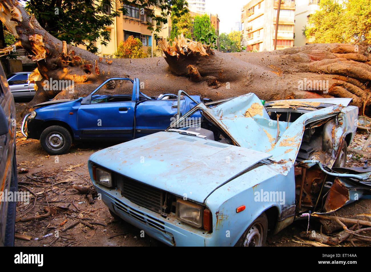 Natural disaster by tree fall on cars at Dadar ; Bombay Mumbai ; Maharashtra ; India 8 March 09 - Stock Image