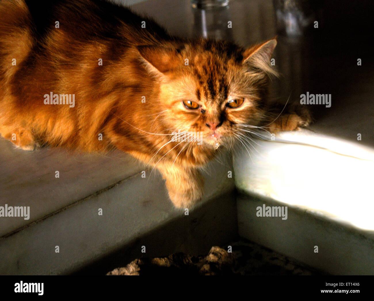 Persian brown cat - Stock Image
