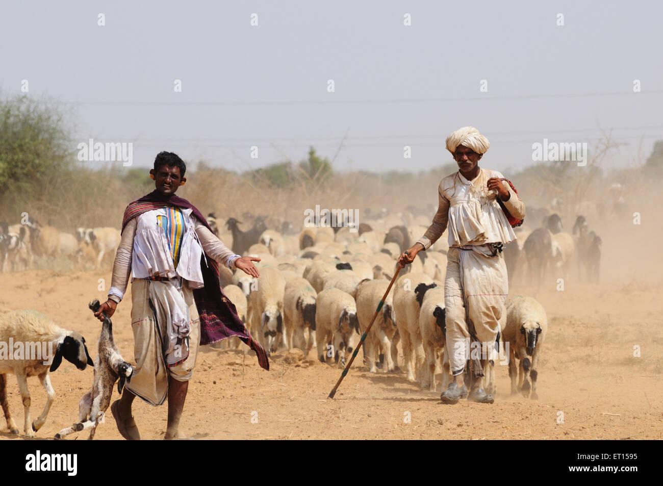 Shepherds with sheeps ; Kutch ; Gujarat ; India - Stock Image