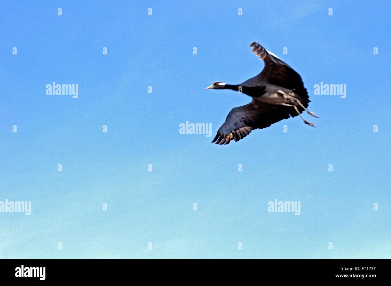 Demoiselle crane flying  ; Kheechan  ; Phalodi  ; Rajasthan  ; India Stock Photo