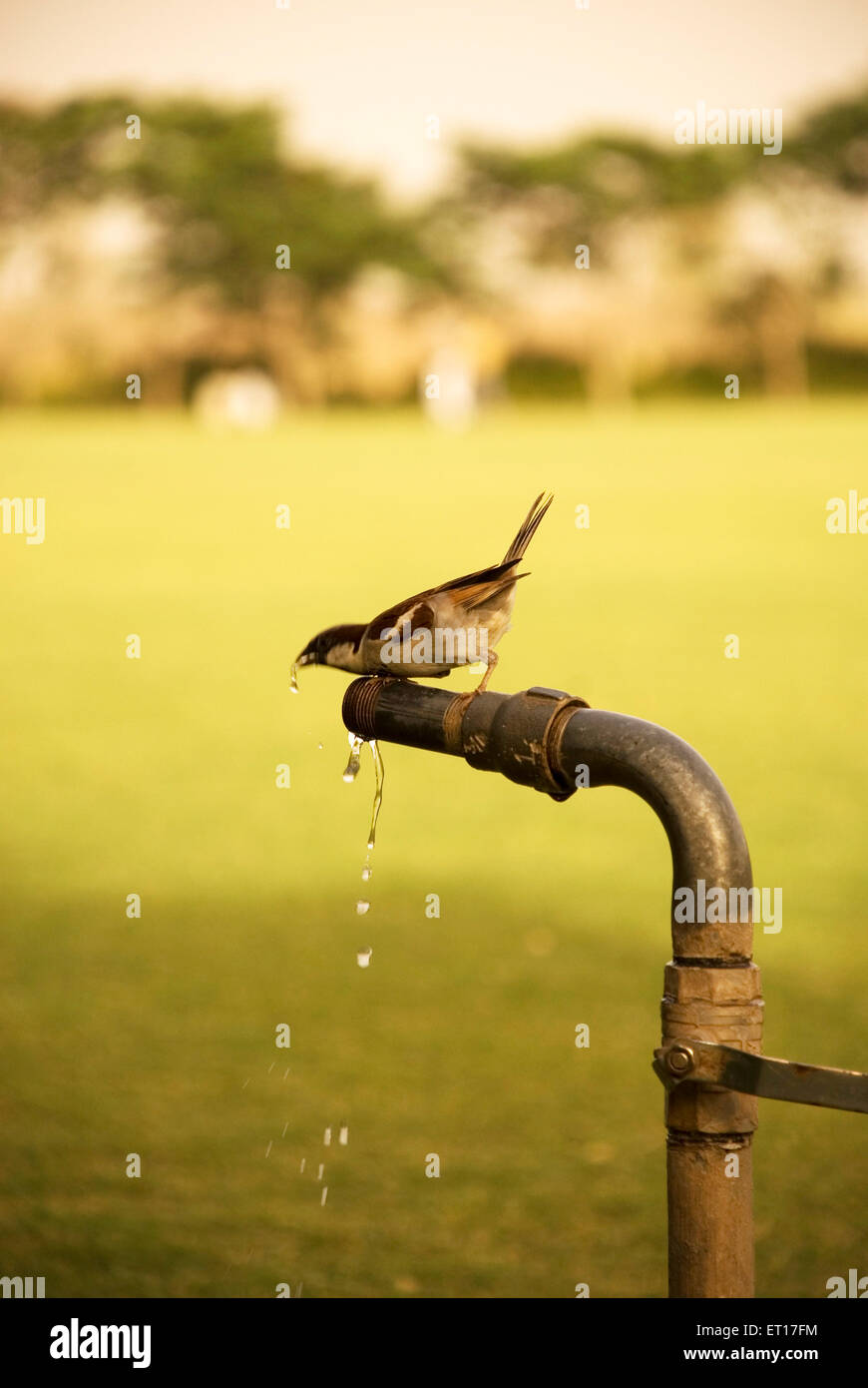 Thirsty sparrow drinking water - Stock Image